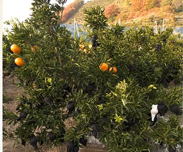 せ 園 ま とか 果樹 の